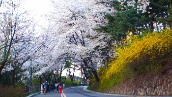 Cherry Blossoms at the N Seoul Tower