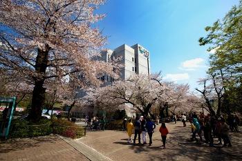광주 상록회관 봄 벚꽃 풍경