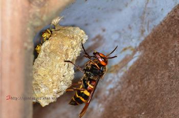 말벌이 쌍살벌 집을 털다