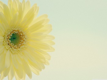 Yellow Gerbera Daisy Low Contrast HD Wallpaper