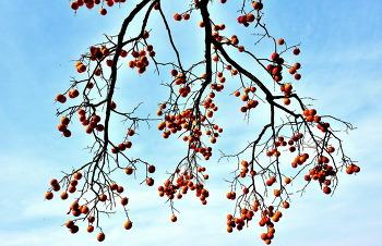 영동 감나무 11ㅡ5