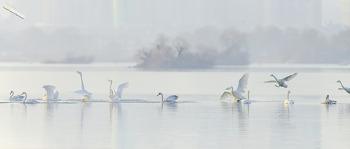 고요한 아침 한강 큰고니들의 모습 풍경^^