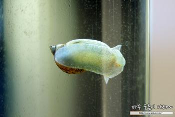 아마존 달팽이 제거제 후기 > 어항 물달팽이 학살