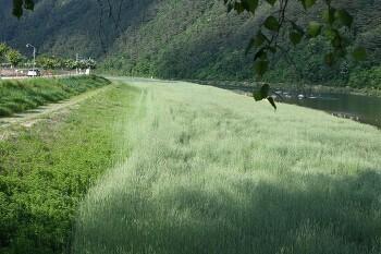 평창강변 보리밭이 연출하는 수채화 같은 풍경