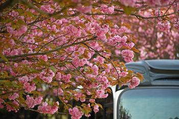단아함으로 피어나는 창원 어린이교통공원 겹벚꽃! (창원명소)