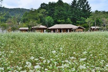 [평창여행] 메밀꽃밭에서 만끽하는 가을의 향기, 평창 이효석문학관