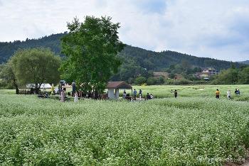 [평창여행] 하얀 메밀꽃밭에서의 아름다운 여행, 봉평 메밀꽃 축제