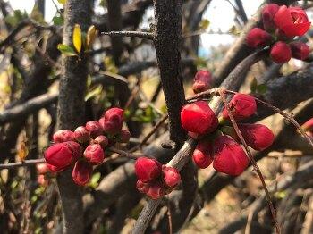 한남대학교 봄 - 명자나무 꽃