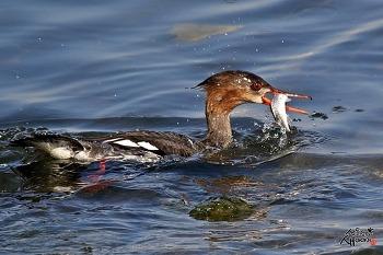 바다비오리 암컷의 물고기 사냥