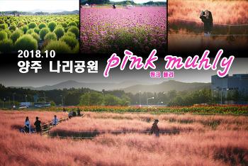 양주 나리공원 핑크뮬리 (pink muhly)