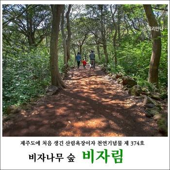 [제주여행] 비자림 비자나무 숲길 아기랑 함께 걷기좋은 길