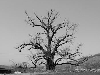 천연기념물 제320호 부여 주암리 은행나무