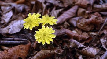 천상화원 '곰배령'의 봄소식 알리는 복수초