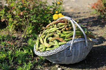 [전원생활] 수확의 계절 # 넝쿨콩 수확 # 팥수확 # 고구마수확 # 시골집 가을걷이 # 가을국화 2018
