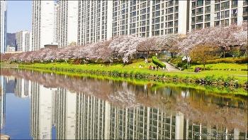 벚꽃피는 온천천의 산책길 풍경