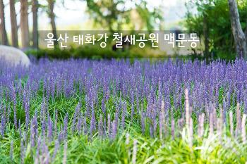 울산 태화강 철새공원 맥문동, 보랏빛 향기 가득한 숲속 꽃길