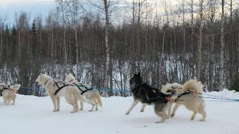 3월 [알래스카 봄 여행] 페어뱅크스 개썰매 체험 투어 - Dog Sledding in Fairbanks, Alaska [패키지 자유 선택 맞춤 신행 허니문 신혼여행 전문 현지 투어 관광 가이드]