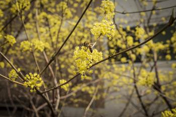 도심속 산수유꽃