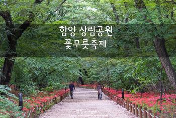 함양 상림공원 꽃무릇, 붉게 물든 꽃무릇 꽃길을 걷는다.