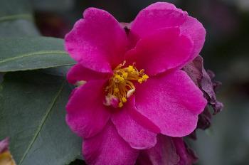 시들어진 애기동백꽃
