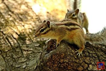 알콩달콩, 다람쥐 부부