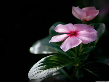 Madagascar Periwinkle HD Wallpaper