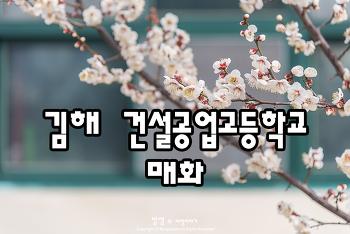 김해 건설공고 매화, 아직은 조금 이른 봄꽃 소식