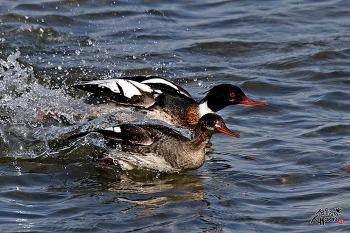 바다비오리 수컷과 암컷, 함께 달린다.