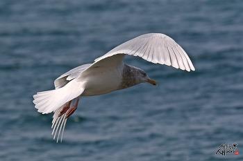 흰갈매기 비행샷
