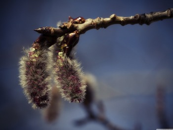 Aspen Catkins HD Wallpaper
