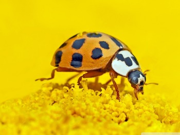 Ladybird Macro HD Wallpaper