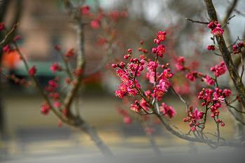 '창원의집' 홍매화는 봄을 데려오는 붉은 전령사!!(창원명소)