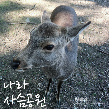 오사카 여행 : 나라 사슴공원 :: 교감(交感)