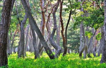 황성공원소나무 5ㅡ24