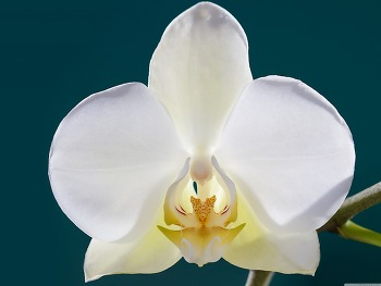 White Orchid Flower, Buds, Macro HD Wallpaper