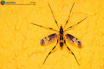 Ctenophora pictipennis fasciata 대모각다귀