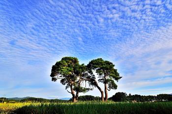 부부소나무 9ㅡ11