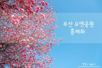 부산 유엔공원 홍매화, 봄의 향기에 잠시 취해보는 시간