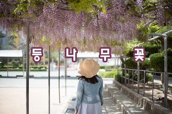 창원 등나무꽃이 만개, 보라색 꽃비가 내리는듯