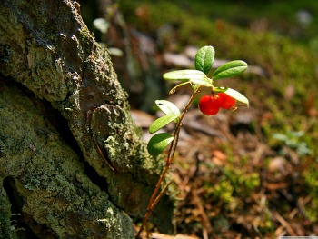 Red Berries Plant wallpaper