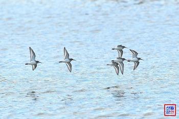 형산강 민물도요의 비행장면