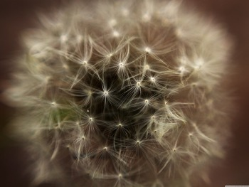 Dandelion Head HD Wallpaper
