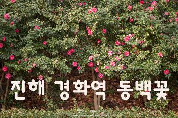 진해 경화역 동백꽃, 겨울에는 동백꽃이 반겨주는 경화역