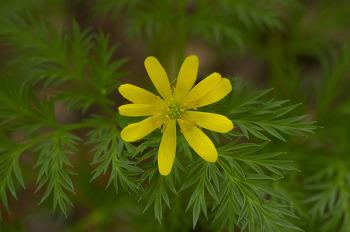 노란 복수초