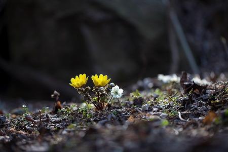 가지복수초+풍도바람꽃
