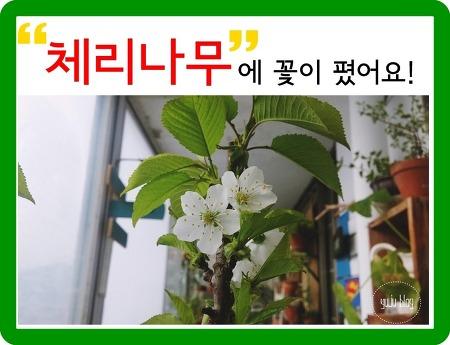 체리나무 묘목 키우기 - 꽃이 폈어요!