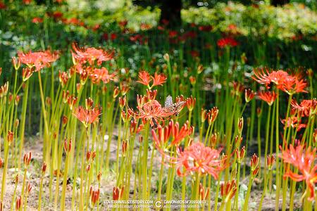 [대구/달서구] 대구수목원 - 아름다운 색감으로 활짝핀 꽃무릇