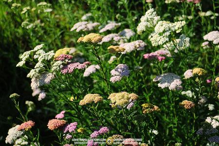 [대구/달서구] 방풍나물과 초롱꽃, 대구수목원의 여름 풍경