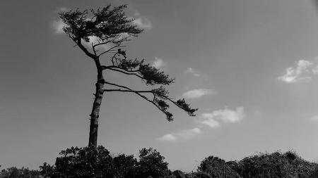 바람맞은 소나무