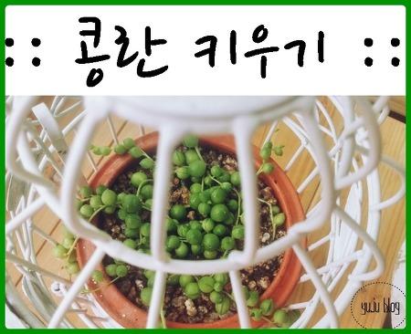 콩란 (녹영) 키우기 :-)
